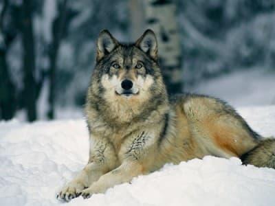 Вълк на снега