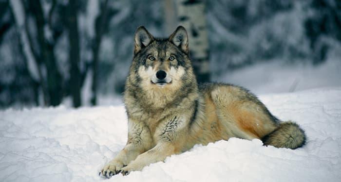 Когато вашият  тотем е Вълк