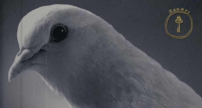 Суеверието на гълъба аналог на човешкия индивид
